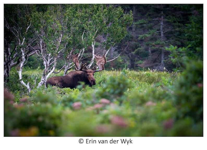 Cape Breton Moose 1