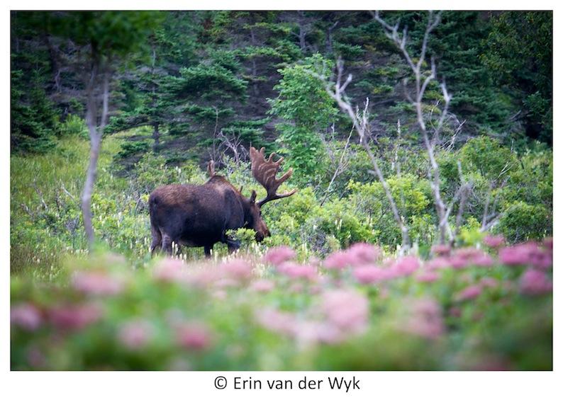 Cape Breton Moose 5