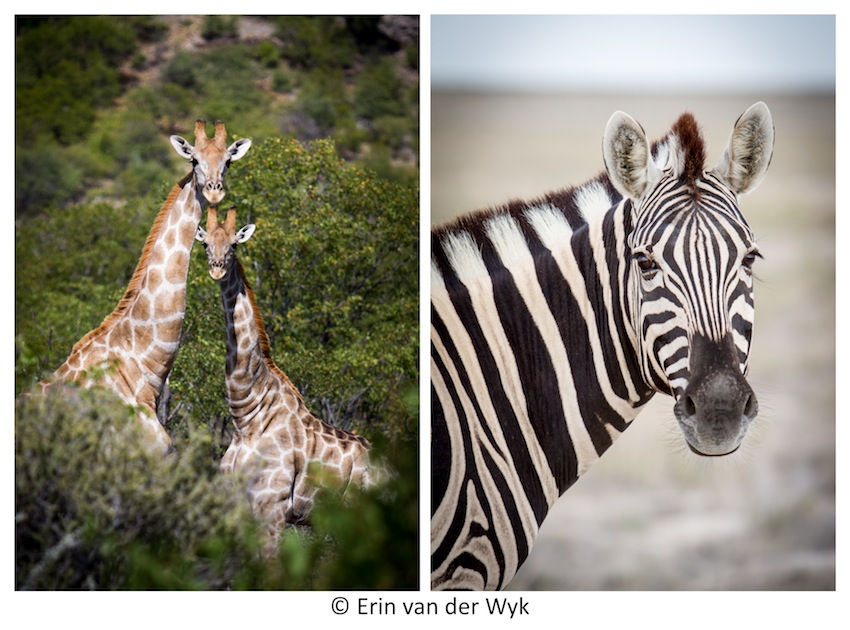Animals etosha