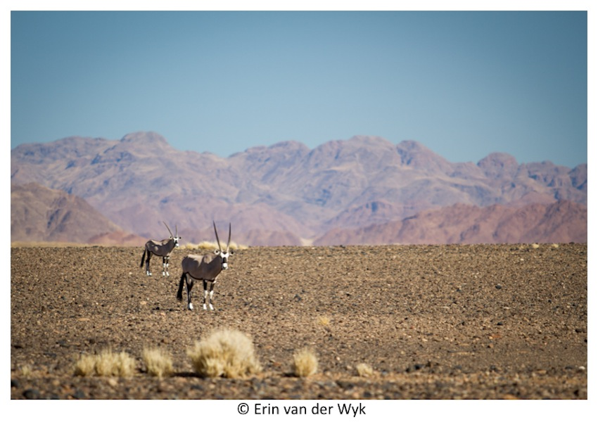 Oryx namib