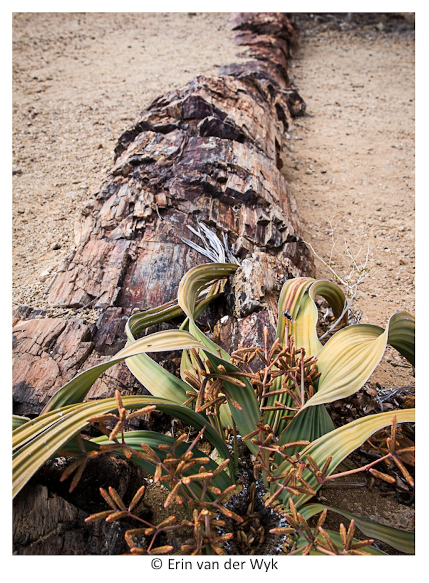 Welwitschia and tree