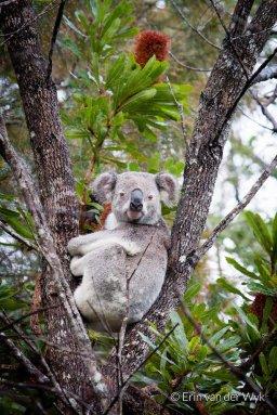 Saving Koalas