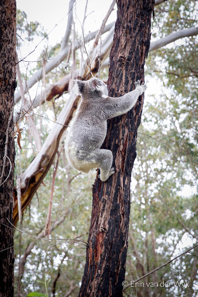 20160824-Noosa-Koala-21