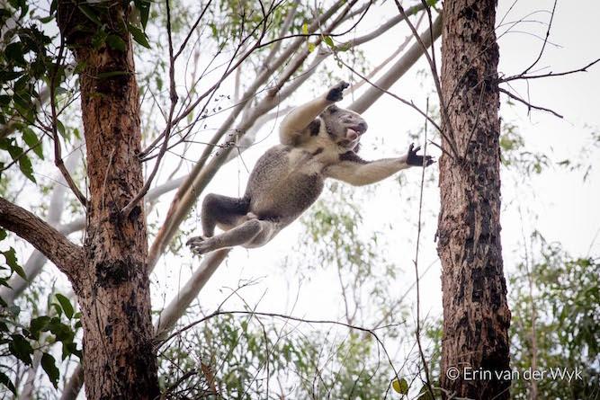 20160824-Noosa-Koala-23